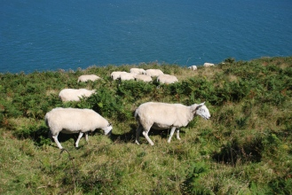 Sheep roam all over the coast path
