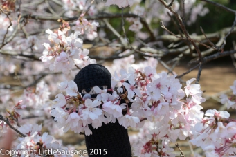 """Mr Ninja says """"Hi"""" from his hiding place in the blossoms."""