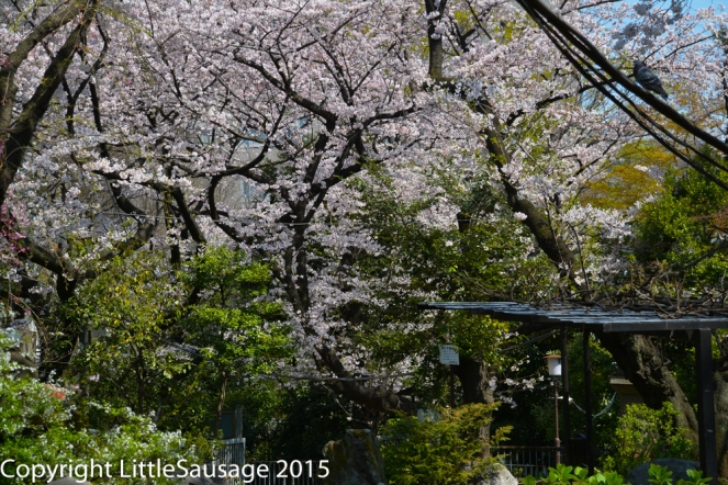 Beautiful cherry blossoms everywhere in our first week.