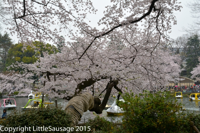 A swan boat has a close encounter with a low hanging cherry tree.